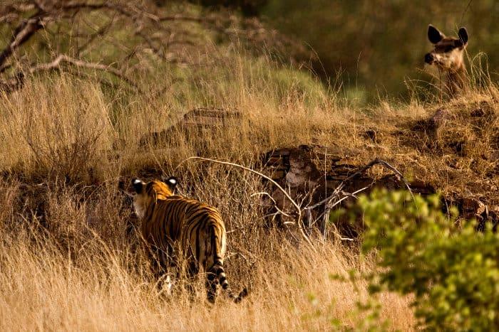 Bengal tiger hunting sambar deer in Ranthambore National Park, India