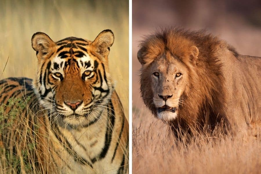 Tiger vs lion size: are tigers bigger than lions?