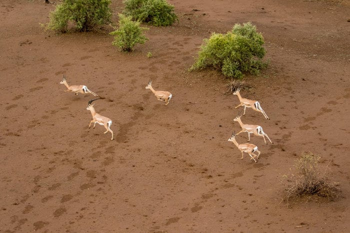 Aerial view of Grant's gazelle on the run