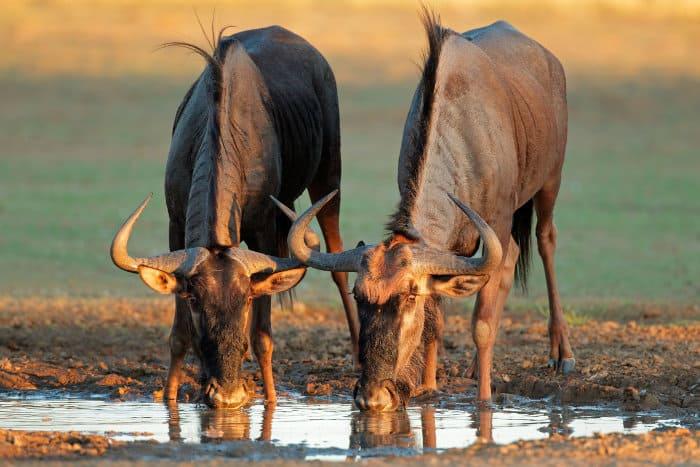 Blue wildebeest drinking at a local waterhole, Kalahari