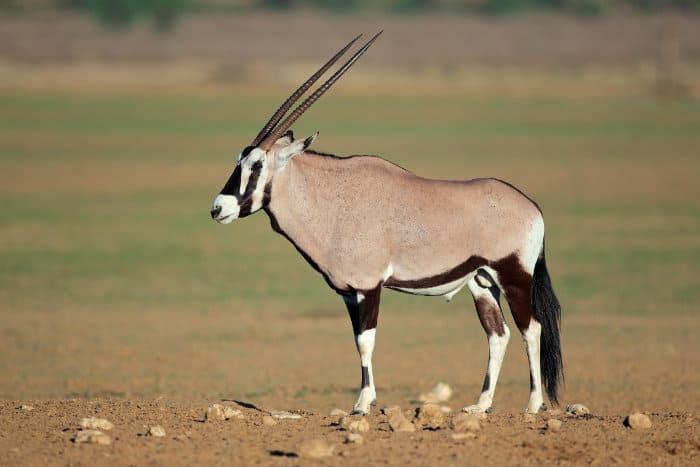 Gemsbok antelope in the Kalahari desert, South Africa