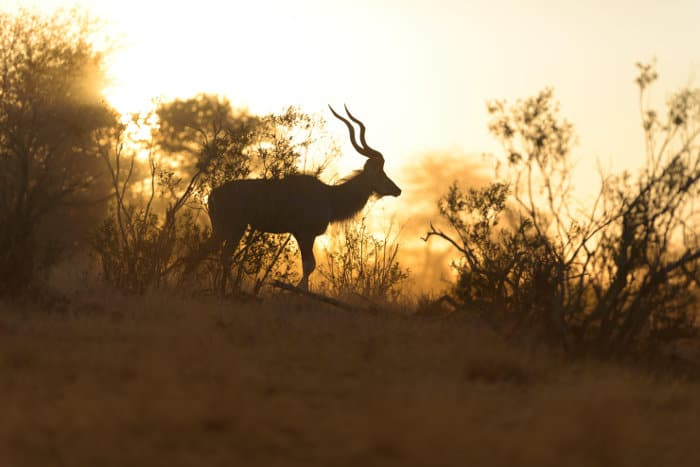 Greater kudu silhouette with beautiful horns