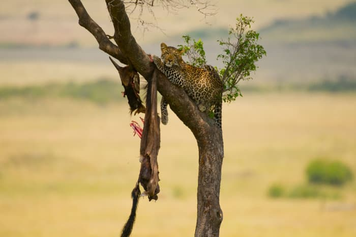 Leopard with wildebeest carcass hanging from a tree