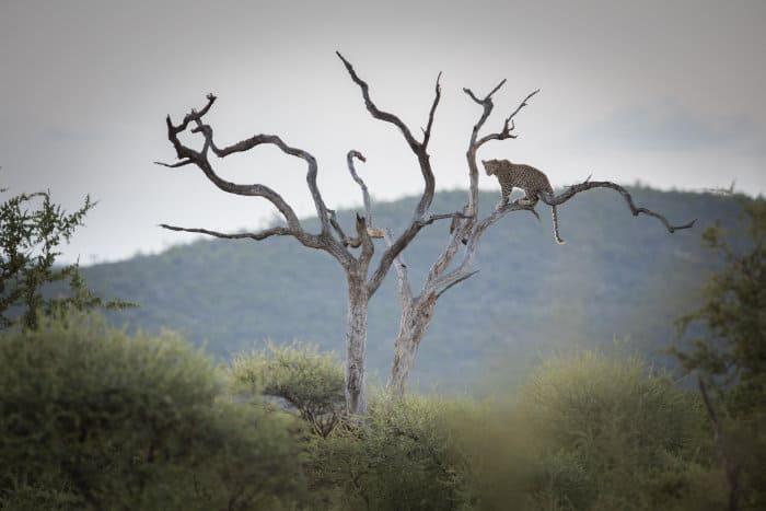 Leopard in dead tree, Madikwe