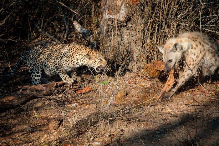 Leopard snarling at a hyena stealing scraps from a carcass