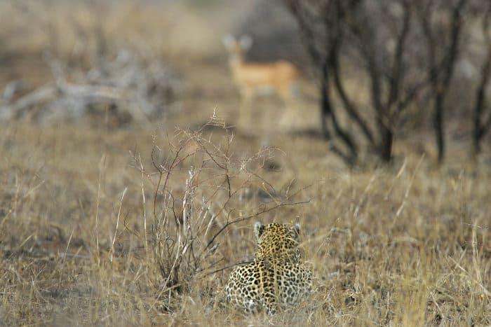 African leopard stalking a steenbok in Kruger National Park