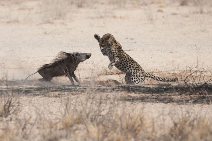 Leopard hunting a warthog in the Kalahari desert