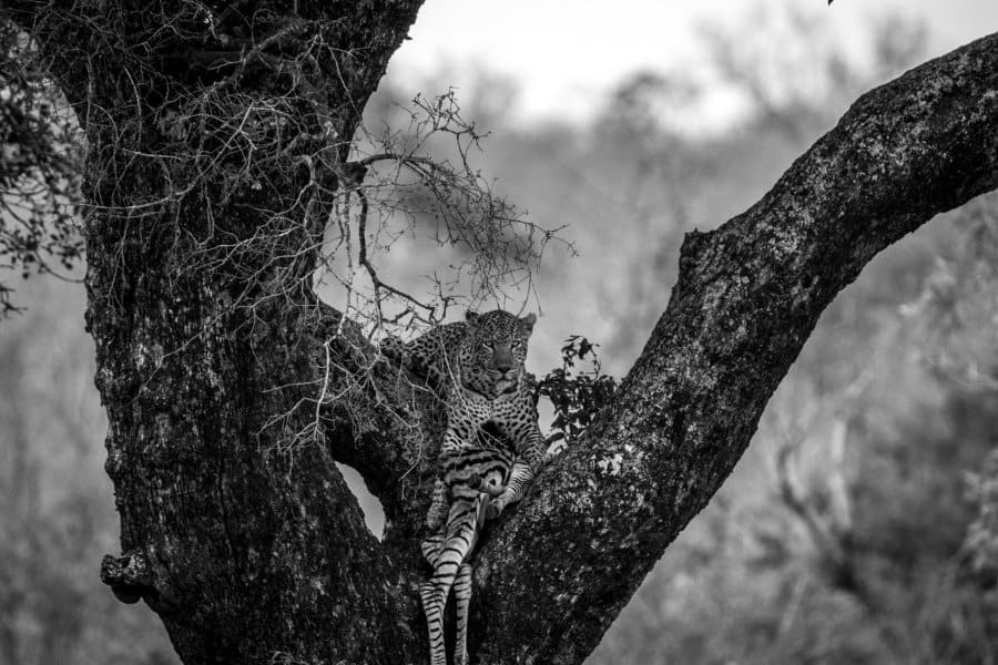 What do leopards eat? Facts about their diet and lifestyle