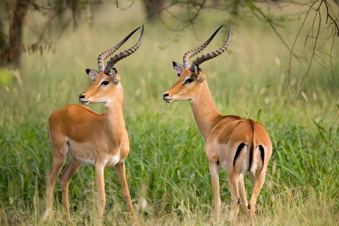 Two male impalas looking to the left