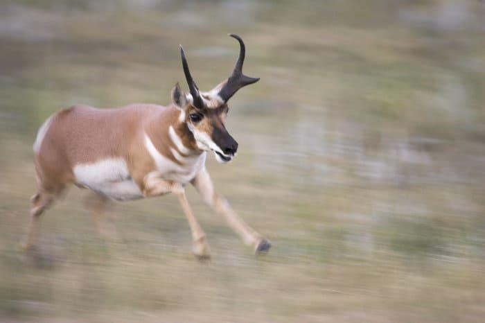 Pronghorn on the run at full speed