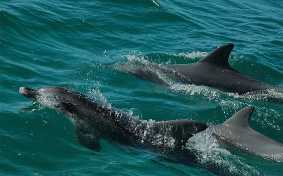 Three dolphins emerging from the ocean in Namibia