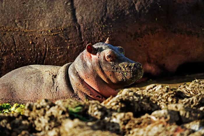 Baby hippo resting by its mother on land, Luangwa Valley