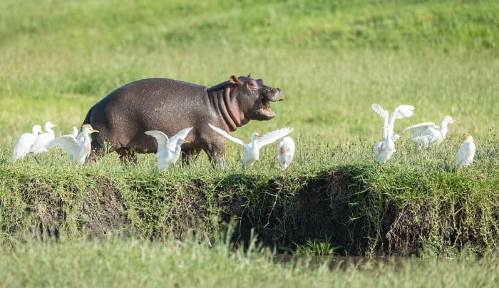 Baby hippo having fun with cattle egrets