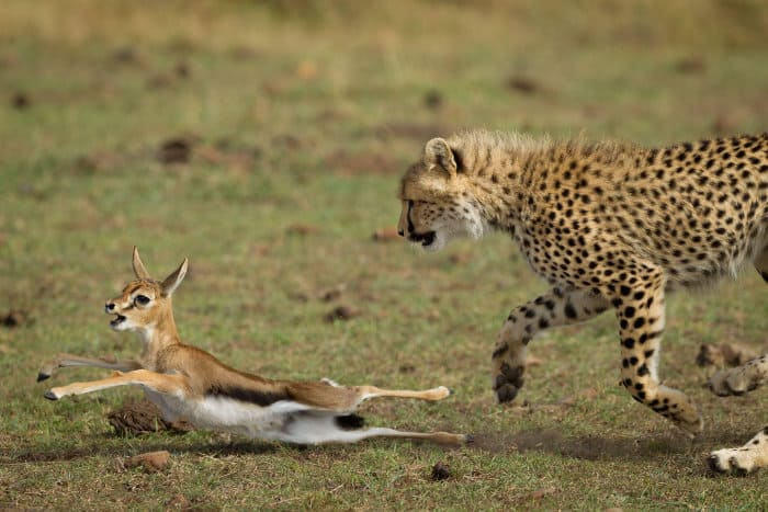 Cheetah hunting baby Thomson's gazelle, tripping it with its paw