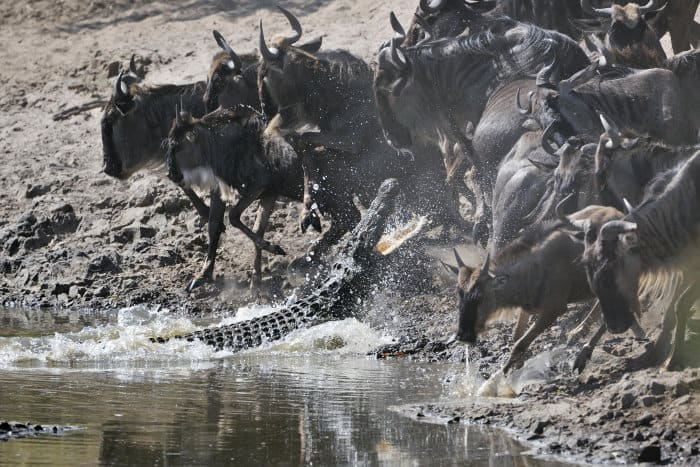 A Nile crocodile leaps out of the water trying to catch a wildebeest
