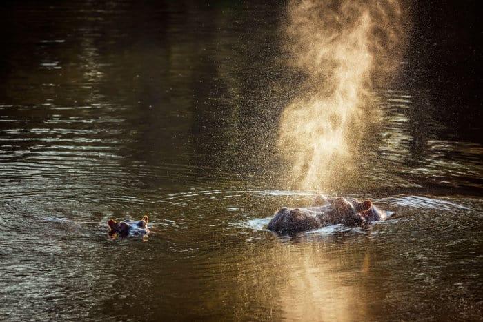 Female hippopotamus blowing air in mist of water vapour