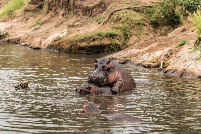 Hippos mating in the river, Serengeti, Tanzania
