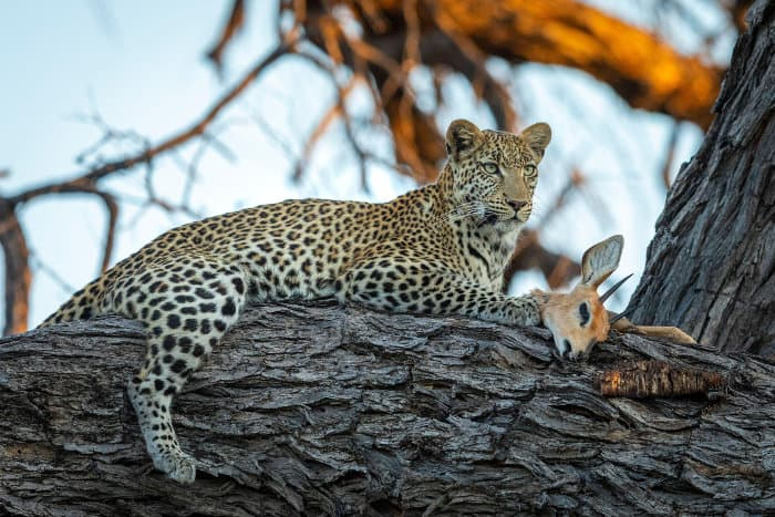 African leopard with steenbok kill up in a tree