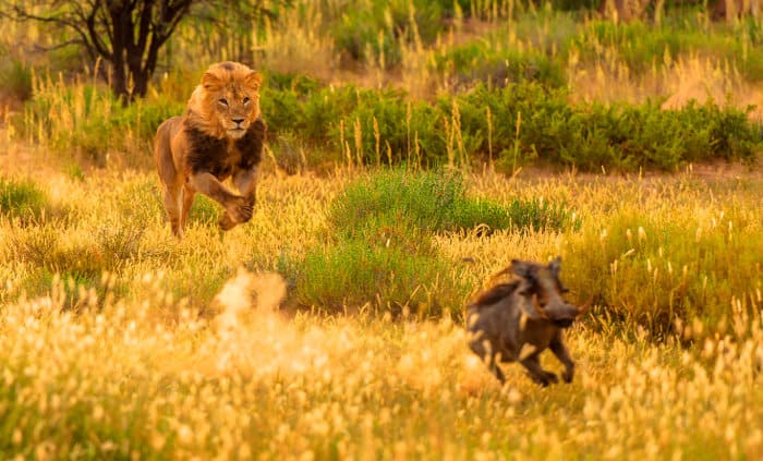 Male lion going after a warthog in the Kgalagadi