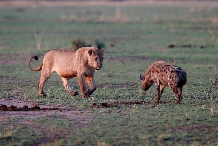 Subadult male lion vs spotted hyena encounter, Masai Mara