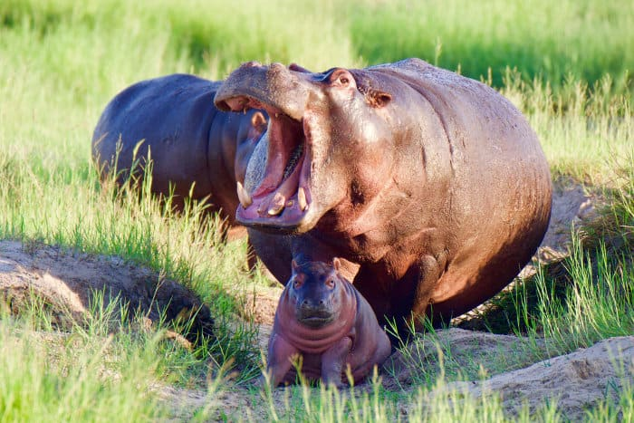 Cute baby hippo and its mom, with mouth wide open