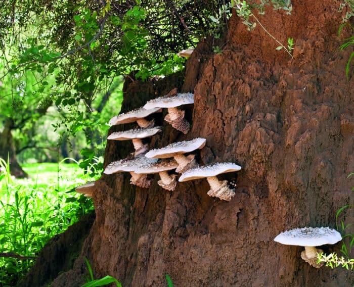 Omajova mushrooms on a termite hill