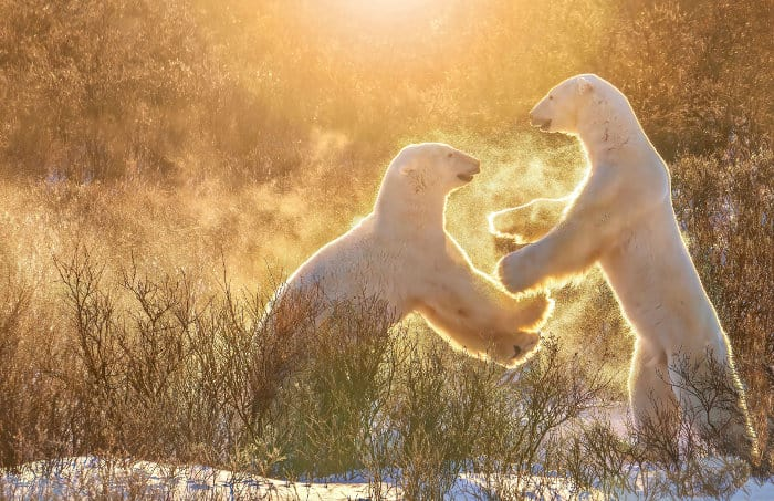 Two male polar bears play fighting, in golden light