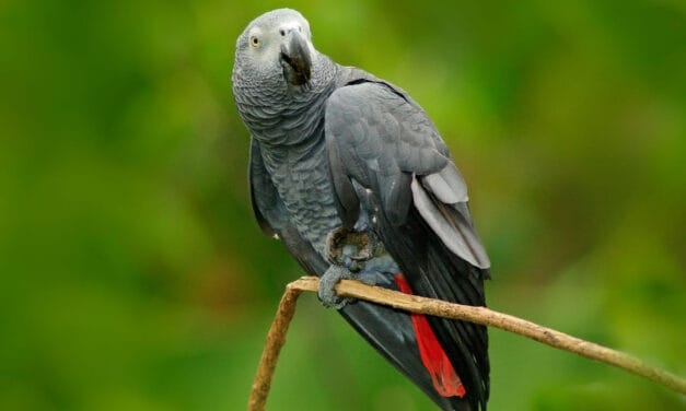 9 cool African grey parrot facts