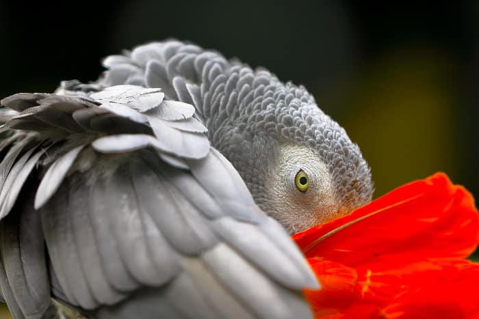Close-up portrait of an African grey parrot