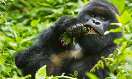 How strong are gorillas? Silverback strength vs humans