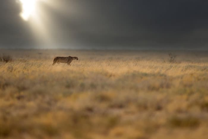 Cheetah on the hunt in the Etosha plains, with dramatic lighting in the background