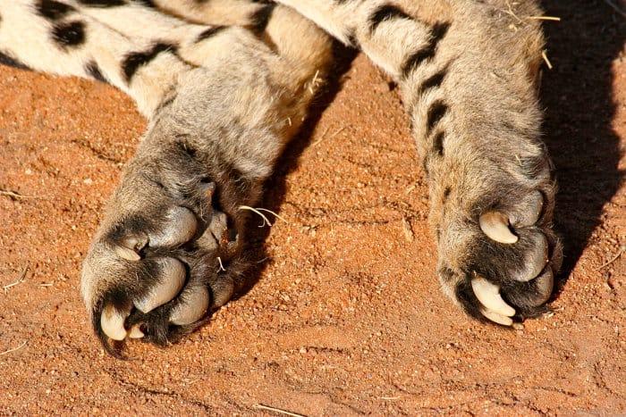 Cheetah claws, Okonjima