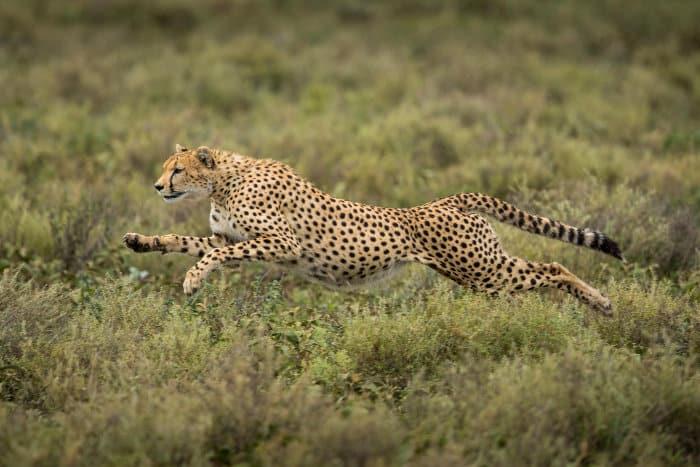 Cheetah running at top speed, Ndutu, Tanzania