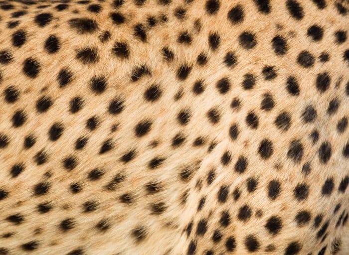 Fur pattern of a cheetah with its small, solid black spots