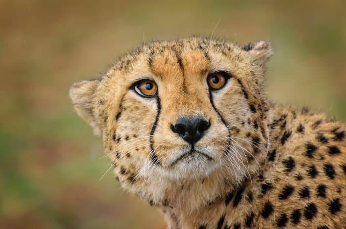 Cheetah portrait, with its distinctive tear marks