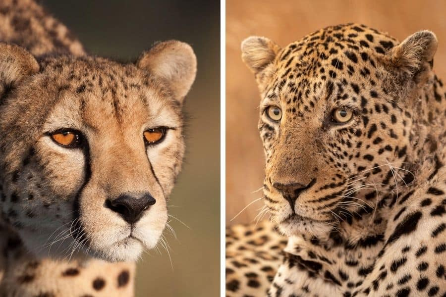 Cheetah vs leopard: what's the difference between them?