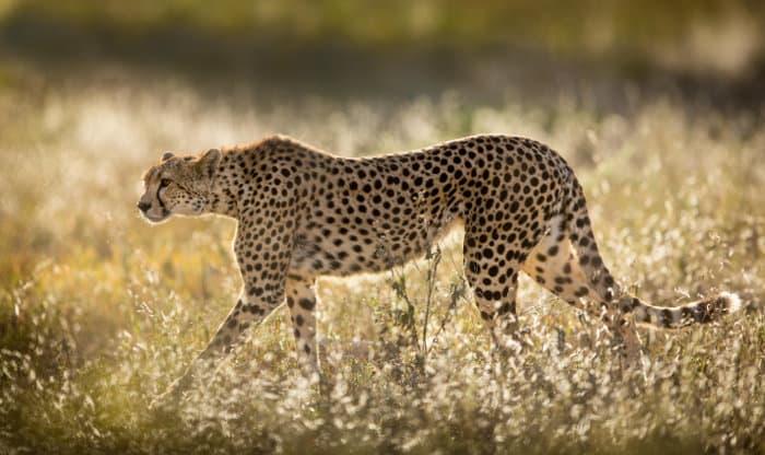 Female cheetah walking through golden grass in early morning sun