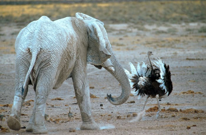 Elephant chases male ostrich and its chicks