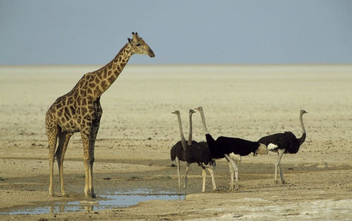 Giraffe standing next to common ostriches, revealing the difference in size
