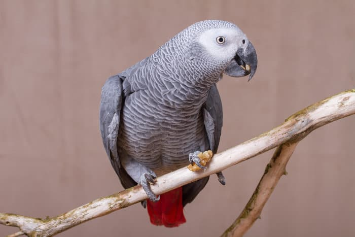 African grey parrot eating a nut on a dead branch