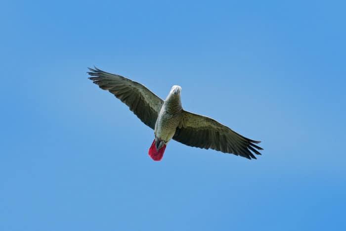African grey parrot in flight against blue sky