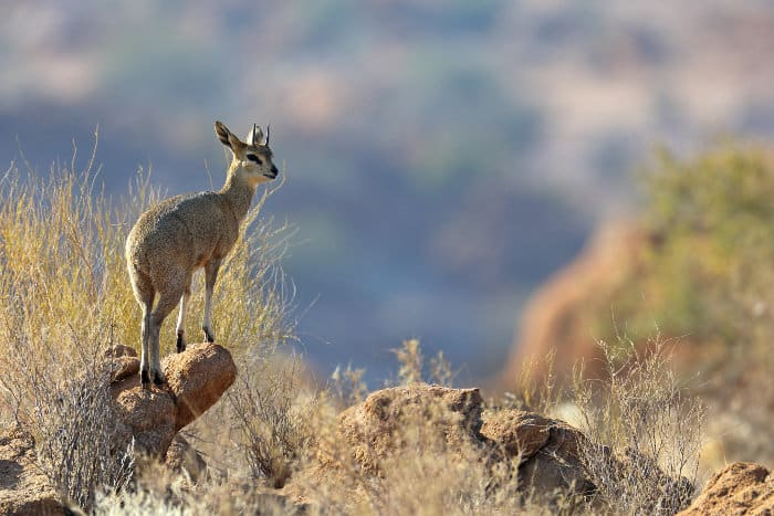 Male klipspringer standing proudly on a rock, Augrabies Falls, South Africa