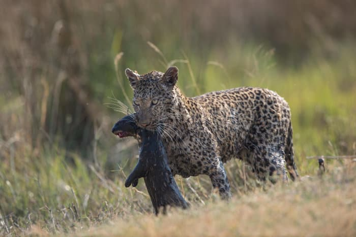 Completely drenched leopard with otter kill in its mouth, Moremi