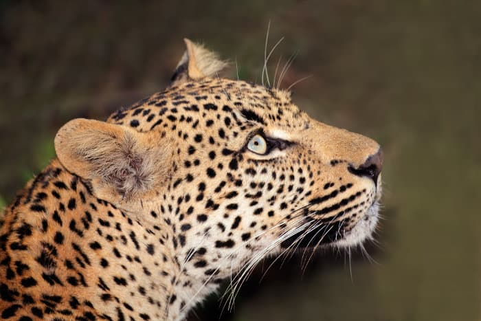 Leopard head shot portrait, looking above
