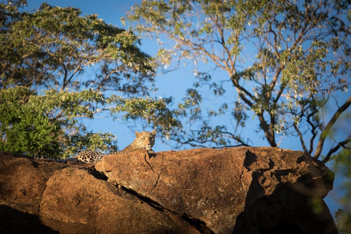 Leopard on large rock, basking in the sun
