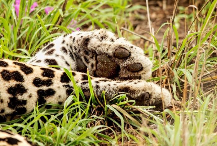 Leopard paws close up