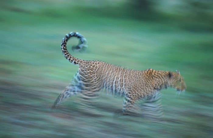 Leopard in running motion, Masai Mara
