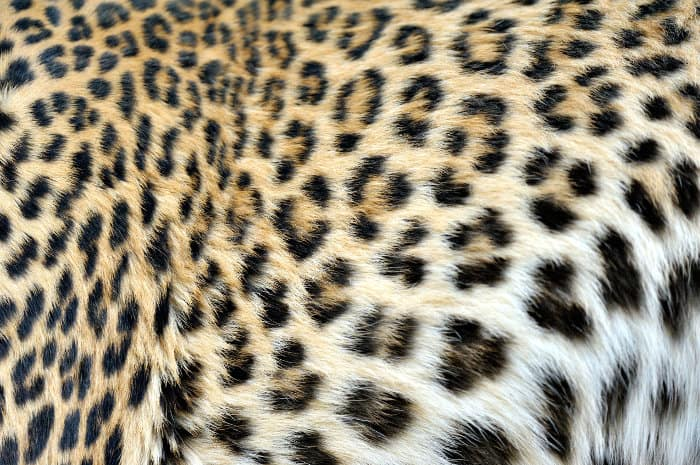 Fur pattern of a leopard with its spots grouped in small rings (called rosettes)