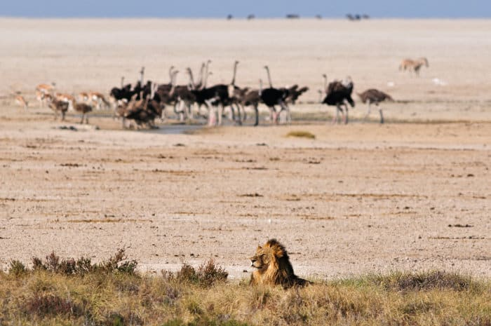 Big male lion with ostriches in the background, Etosha