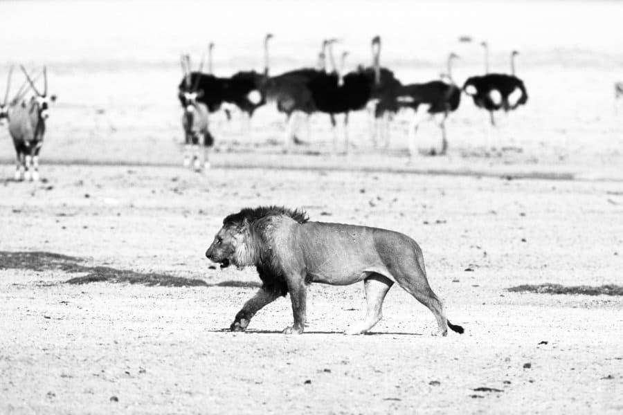 Can an ostrich kill a lion?